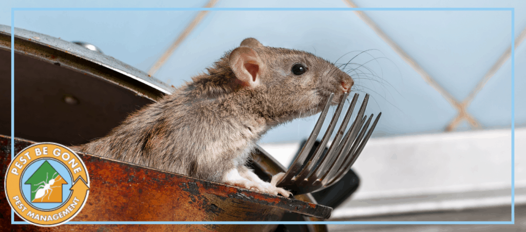 "A photo of a rat | A featured image from ""The Dangers of Common Household Pests"" by Pest-Be-Gone CA."