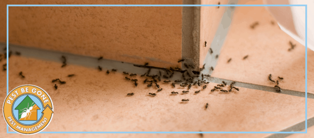 "A photo of ants at home | A featured image from ""The Dangers of Common Household Pests"" by Pest-Be-Gone CA."