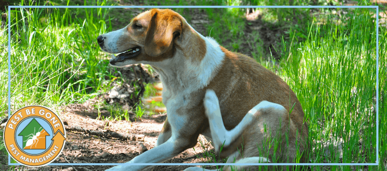 "A photo of a dog scratching an itch | A featured image from ""The Dangers of Common Household Pests"" by Pest-Be-Gone CA."
