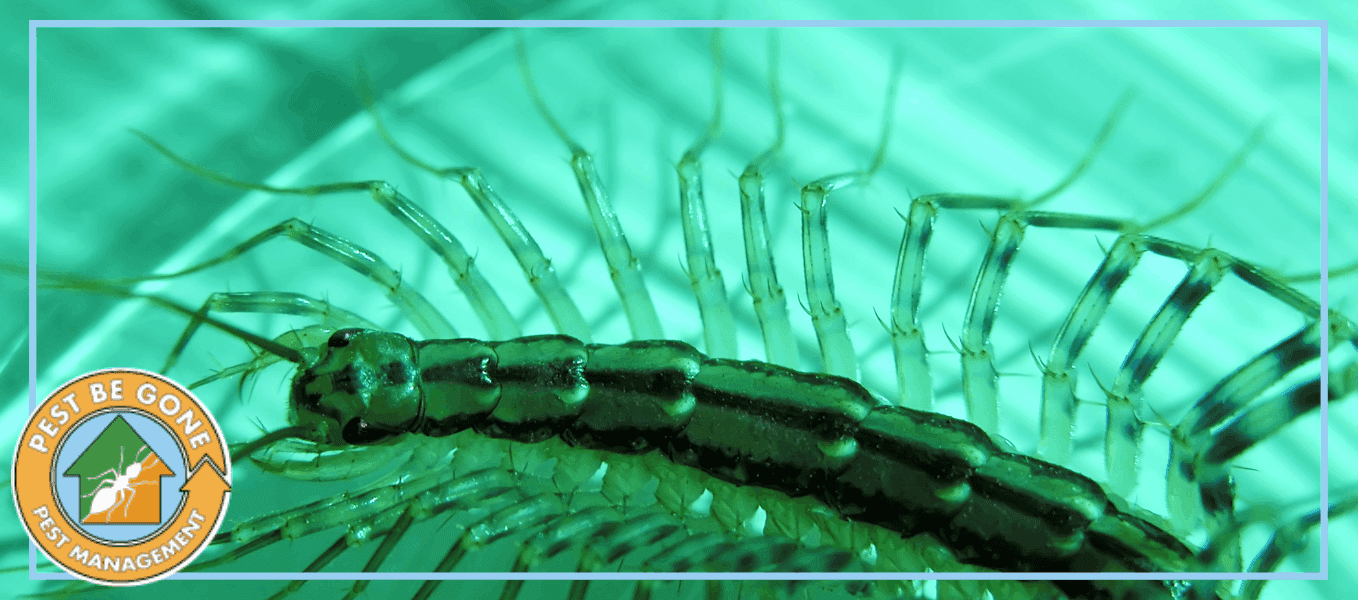 Should You Be Afraid of House Centipedes? | Pest Be Gone Pest Management